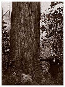 1925 Champion Big Tree Candidate, photo by Fred W. Besley