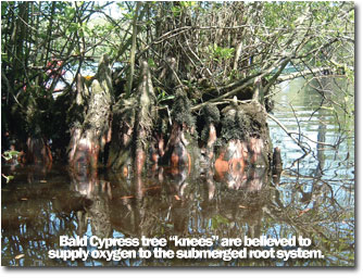 "a photo showing a Bald Cypress tree ""knees"" that are believed to supply oxygen to the submerged root system"