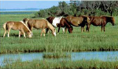 Photo of herd of ponies on Assateague Island