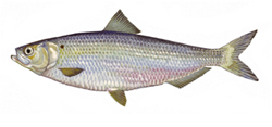 Illustraction of a Hherring.