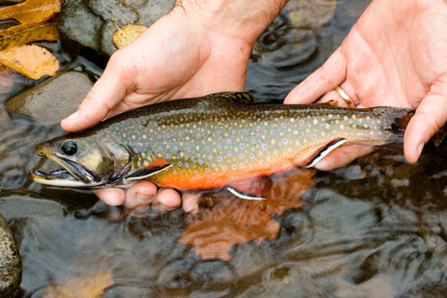 Person holding a brook trout in their hands.
