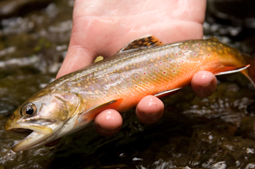 Brook trout in a person's hand.