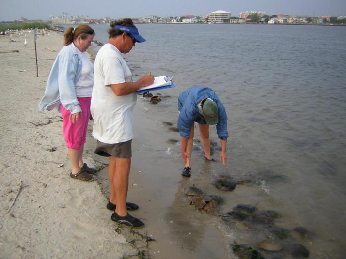 Counting Horshoe Crabs