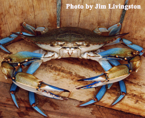Blue Crab at the bottom of a basket.