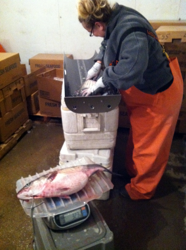 sampling striped bass at a commercial check station