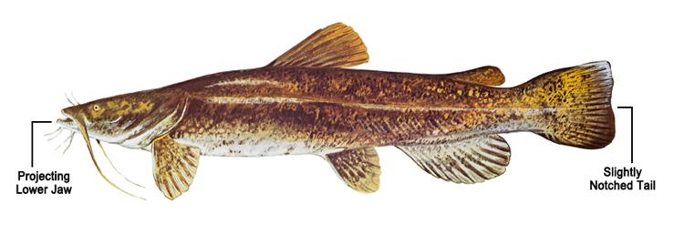 Invasive Catfish