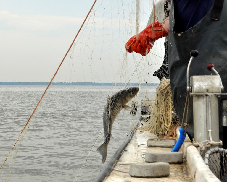 Pulling a Striped Bass up in a gill net