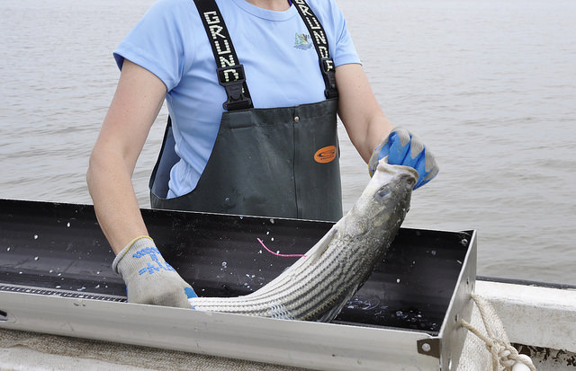 Tagging a Striped Bass