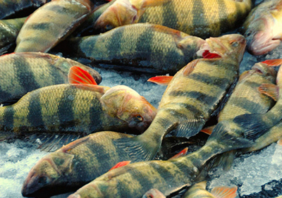 Photo of yellow perch.