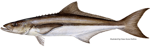 /sites/dnr/fisheries/fishfacts/Cobia.png