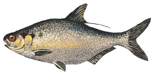 American Gizzard Shad