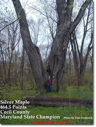Big Tree - Silver Maple, photo by Tom Frederick
