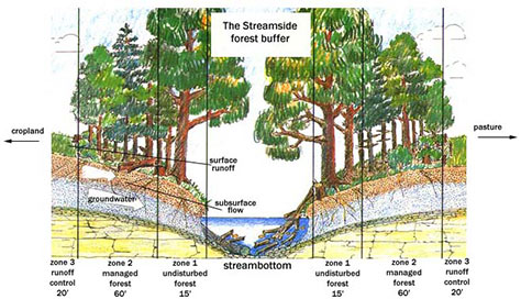 A prime example of a streamside buffer and how it functions.