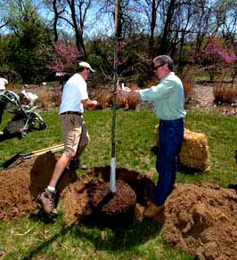 Photo showing the proper way to dig a hole for a tree