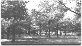 a loblolly pine orchard