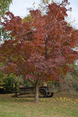 Tree with red leaves and a wooden wagon sitting behind it.