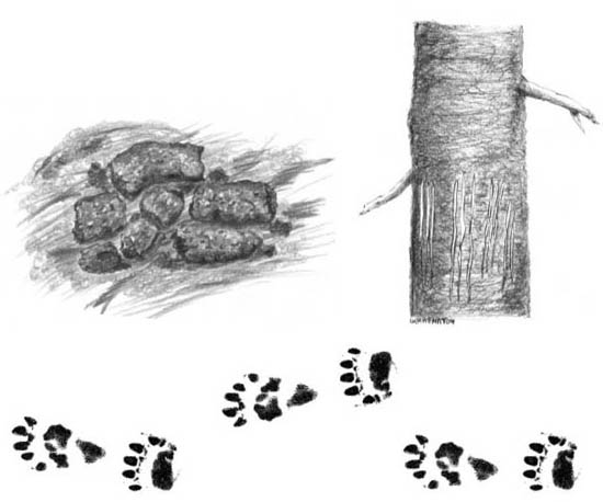 Illustration depicting Bear Scat, Tracks, and Tree Scratches