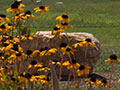 Black-eyed susans with boulder in background