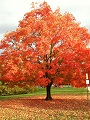 Tree with red leaves image