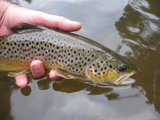 Youghiogheny River Brown Trout