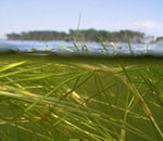 Under water view of Bay grasses