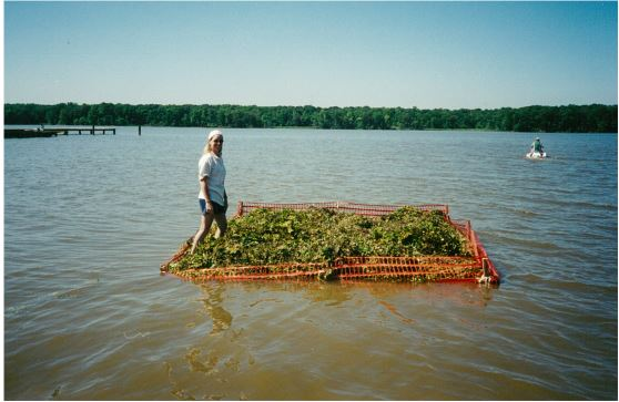 A biologist stainding on harvested plants that were composted in the water using floating cages.