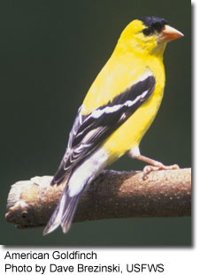 American Goldfinch, photo by Dave Brezinski, USFWS
