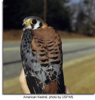American Kestrel, photo by USFWS