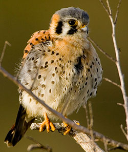 Young American Kestrel, photo by Steve Hillebrand, USFWS