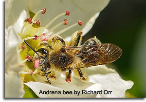 Andrena bee by Richard Orr