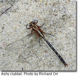 Ashy clubtail, photo by Richard Orr