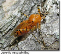 Juvenile Assassin Bug photo by Kerry Wixted