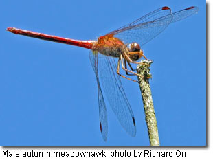 Male autumn meadowhawk, photo by Richard Orr