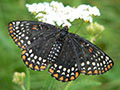 Baltimore Checkerspot by Jenn Frye