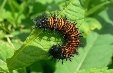 Baltimore checkerspot caterpillar by Jen Frye