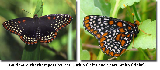 Baltimore checkerspots by Pat Durkin (left) and Scott Smith (right)