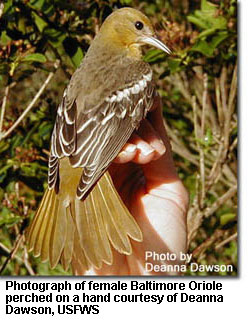 Photograph of female Baltimore Oriole perched on a hand courtesy of Deanna Dawson, U.S. Fish & Wildlife Service