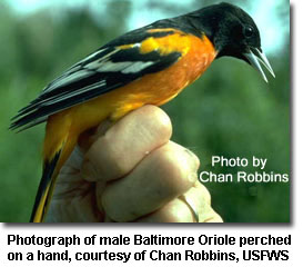 Photograph of male Baltimore Oriole perched on a hand, courtesy of Chan Robbins, USFWS