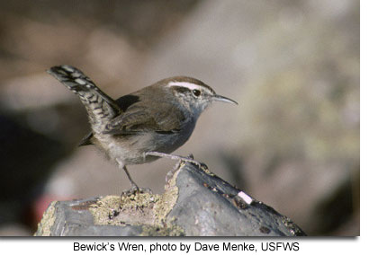 Bewick's Wren, photo by Dave Menke, USFWS