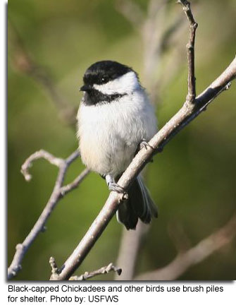 Black-capped Chickadee photo by: USFWS