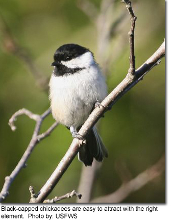 Black-capped chickadees are easy to attract with the right element Photo by: USFWS