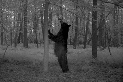 Trailcam photo of a Maryland black bear from a bait station survey site