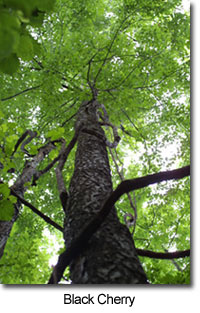 Native Maryland Trees Maryland S Wild Acres