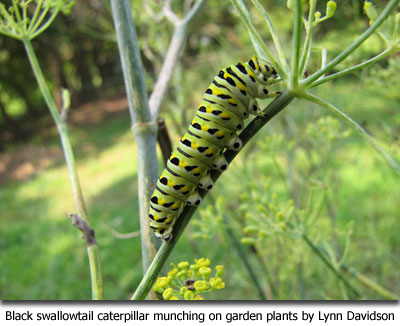 Black swallowtail caterpillar munching on garden plants by Lynn Davidson