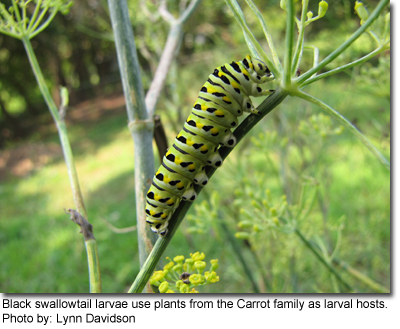 Black swallowtail larvae use plants from the Carrot family as larval hosts. Photo by: Lynn Davidson