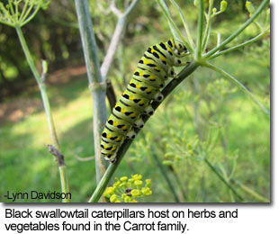 Black swallowtail caterpillar feeding on herb - photo by Lynn Davidson