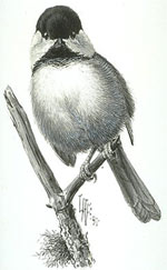 Black_capped_Chickadee_PublicDomain.jpg