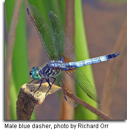 Male Blue dasher, photo by Richard Orr
