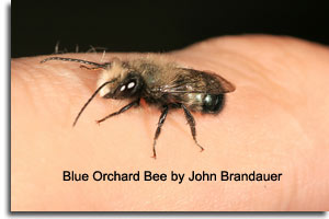 Blue Orchard Bee by John Brandauer