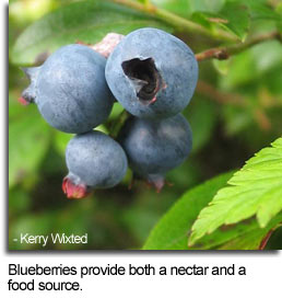 Blueberries provide both a nectar and a food source - Photo by Kerry Wixted